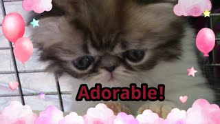 These Adorable Persian Kittens Have Something To Say! 😻