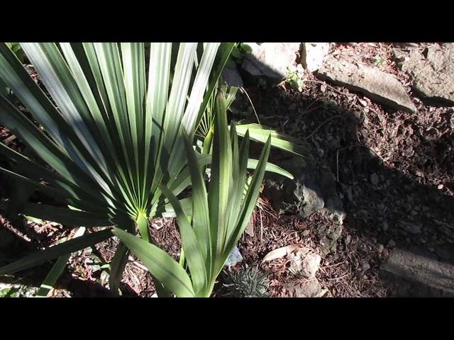 Dwarf  Palmetto Palm after a Freeze