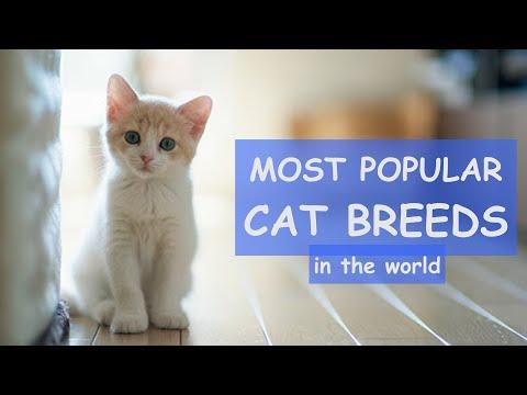 TOP 50 Most Popular CAT BREEDS In The World / balinese cat, korat cat, turkish angora cat