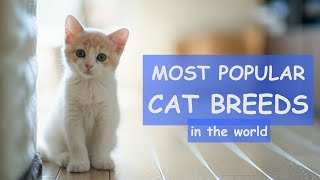 TOP 50 Most Popular CAT BREEDS In The World / balinese cat, korat cat, turkish angora cat...