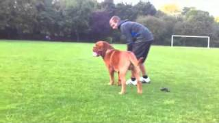 Dogue De Bordeaux Playing In The Park
