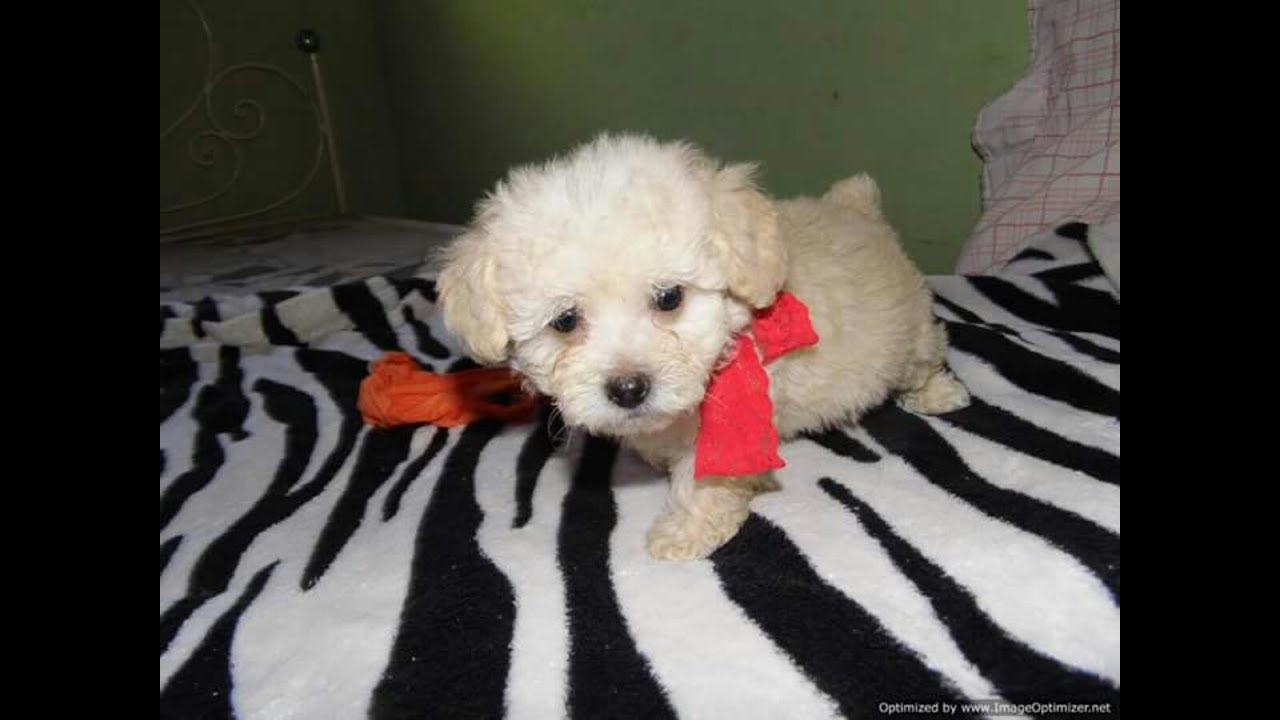 Poodle 40 dias de vida cachorrinho Muito Fofo
