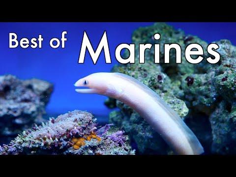 Maidenhead Aquatics Best of Marine Fish & Invertebrates 2015