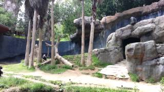 Chimps going crazy at the la zoo