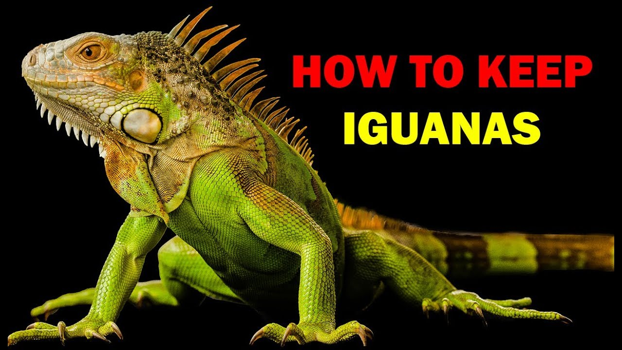 How to keep iguanas (Weird and Wonderful Pets Episode 13 of 15)
