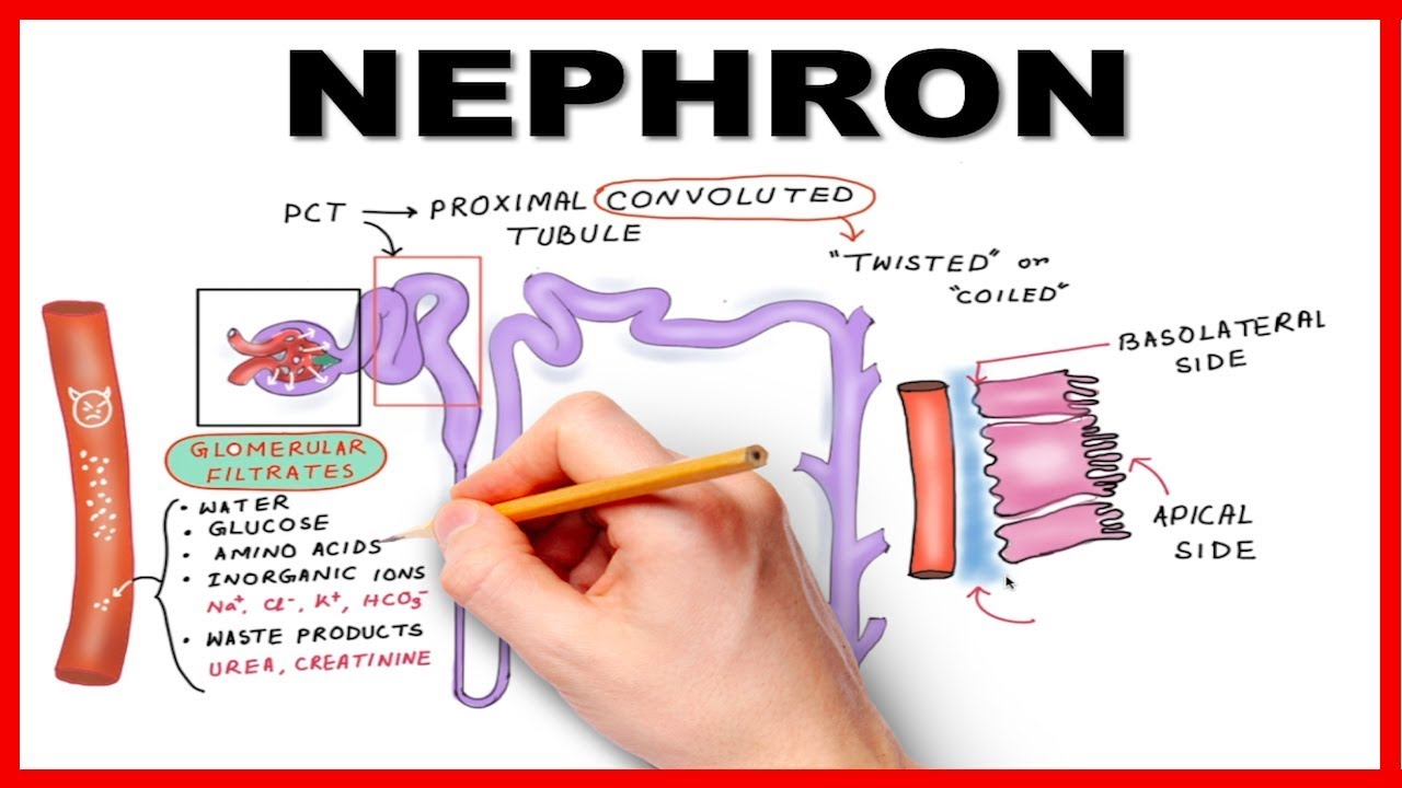 Nephron Function Simplified (Hand drawn Animation)  YouTube