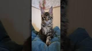 Котенок мейн кун Либерти