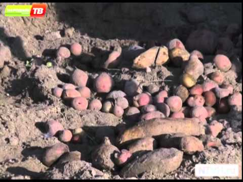 Вопрос: Кто может есть картошку Вредители картошки – кто Как бороться с ними?