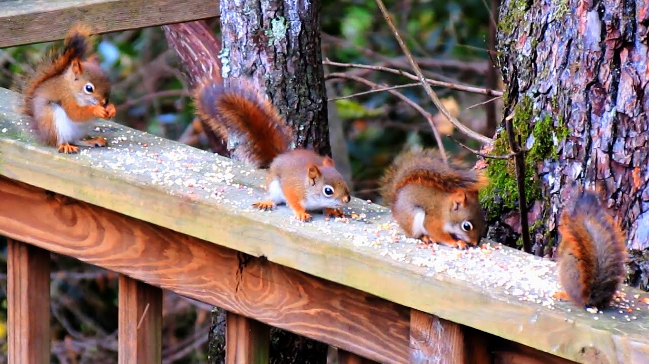 Baby red squirrels - photo#12