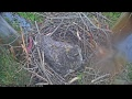 Presidio of San Francisco Live Cam - Great Horned Owl Nest