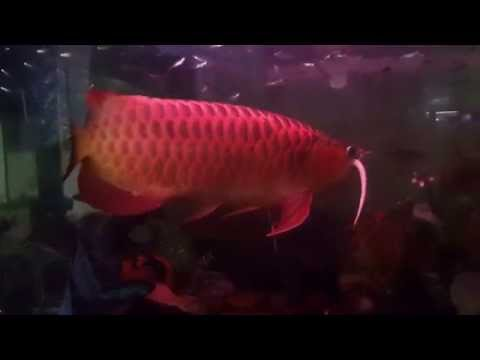 ปลามังกรแดงกินงู บังแระ