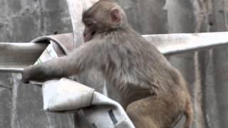 Baby Japanese Macaque playing.遊ぶニホンザルの赤ちゃん。 Tama zoolo...