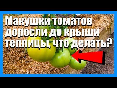 Помидоры очень высокие что делать? Как прищипывать томаты?