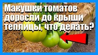 Что делать когда помидоры доросли до крыши теплицы, когда подрезать макушки томатов
