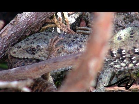 Northwestern Alligator Lizard   -  Reptiles of British Columbia  - YouTube