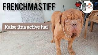 French Mastiff Dog 8 year old