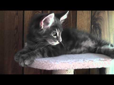 Wesley  Maine Coon kitten 01