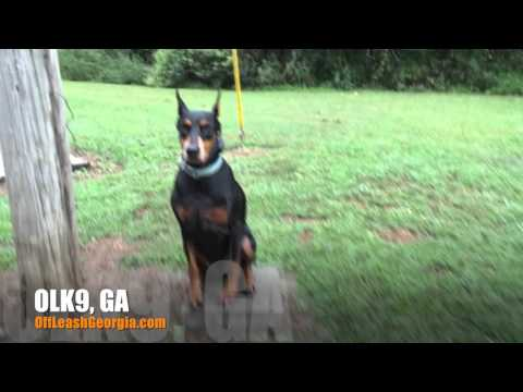 Luna Showing Off Her Obedience! | Doberman Pinscher | Top Rated Georgia Obedience Training