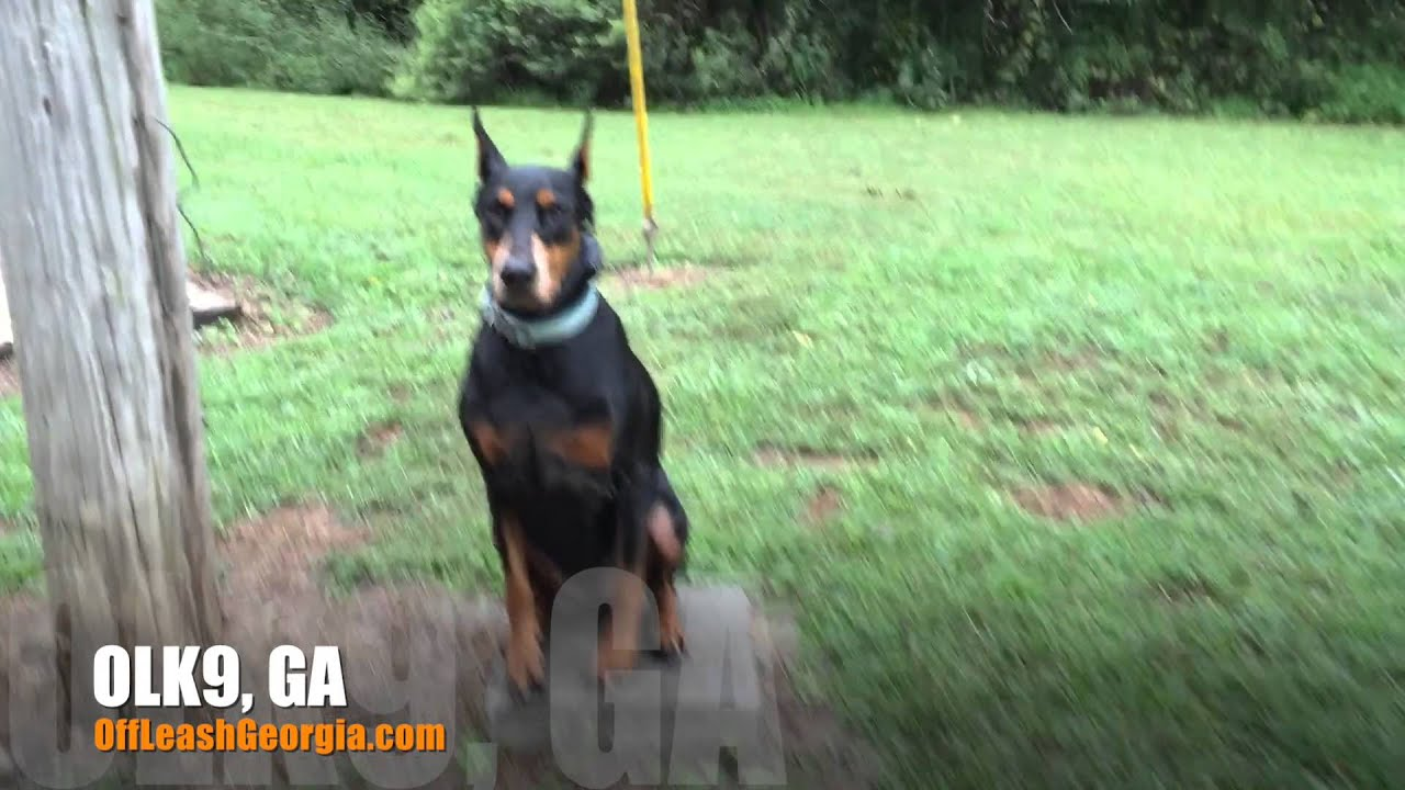 Dobermann obedience training