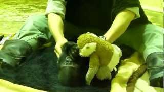 2012.05.18撮影 京都市動物園のゴリラの赤ちゃん(男の子)、生後5ヶ...