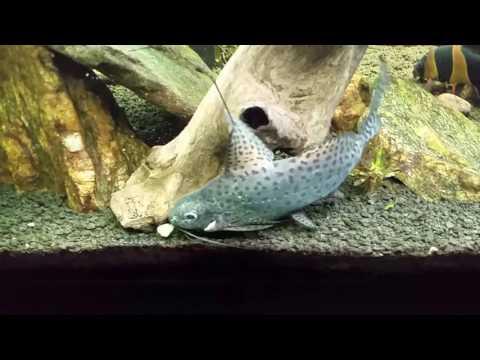 Synodontis Eupterus; African Featherfin Squeaker Catfish