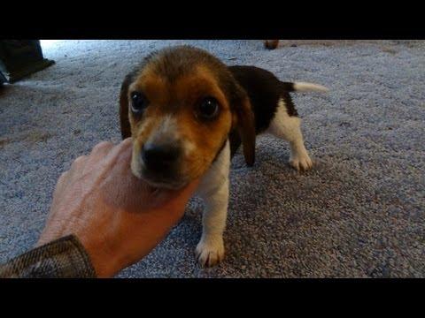 Talking Dog Cute Beagle Puppy a Beagles Funny Baying