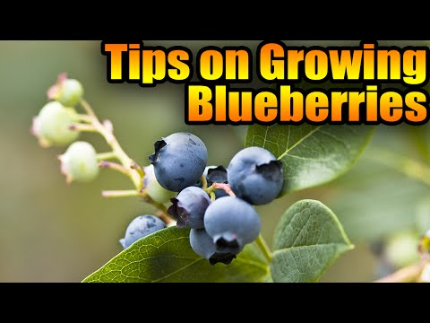 Tips On Growing Blueberries
