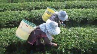 Tea Leaves Being Picked