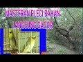 Masteran Pleci Bahan Langsung Nyaut Gacor Ngriwik(.mp3 .mp4) Mp3 - Mp4 Download