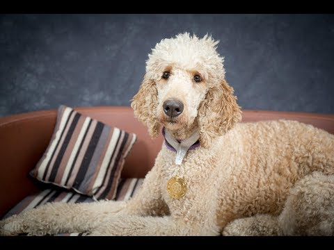 Bree - Standard Poodle - 5 Weeks Residential Dog Training