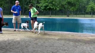 Beagle Chasing German Shorthair Houston Bush Dog Park.mov