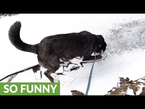 Puppy goes crazy over ice breaking at edge of pond
