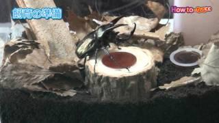 昆虫の飼育方法~カブトムシの飼い方~【コメリHowtoなび】