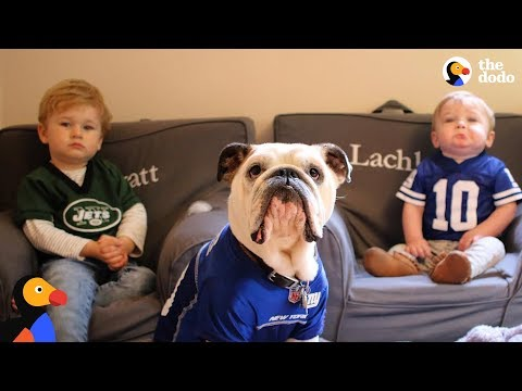 Bulldog Is So Protective Of His Baby Brothers | The Dodo