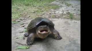 Snapping Turtle Likes To Bite Fingers...OFF !