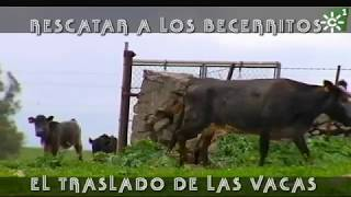 Rescate de becerritos en la Ruta del Toro | Toros desde Andalucía