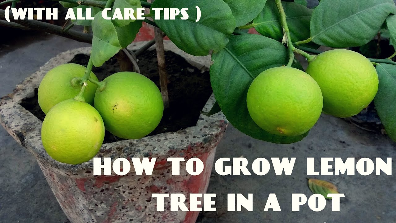 How to care for the lime for example what to feed .. how to multiply ... what to do to grow ... how to play and where to store