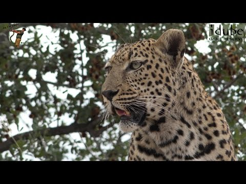 Male Leopard Eating An Impala, Drinking, Avoiding Hyenas | Adventures In Africa