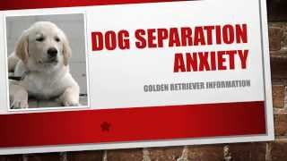 Dog Separation Anxiety  | Golden Retriever Temperament | End Your Worst Nightmare!