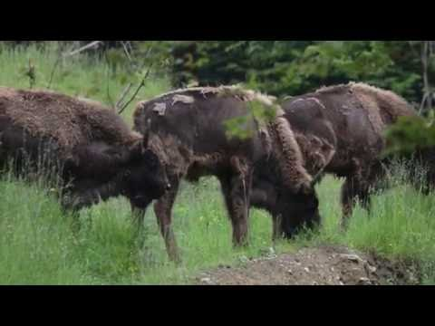 Third bison release in the Southern Carpathians, Romania