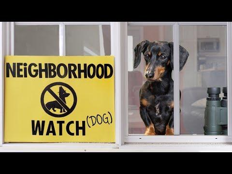Ep 8. Crusoe the Dachshund on Neighborhood Watch Duty