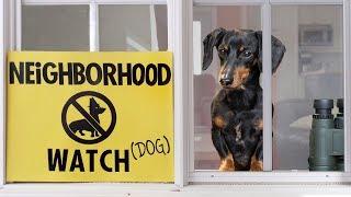 ep-8-crusoe-the-dachshund-on-neighborhood-watch-duty