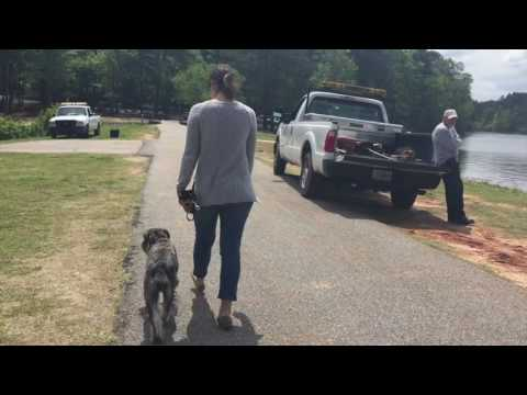 "1.5 Year Old Standard Schnauzer ""Jayme"" Before/After Video 