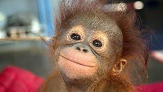 Monkey. Funny Monkeys Compilation Part 2 / Обезьяны. Смешные обезьяны 2