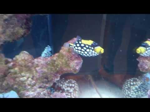 Cute little trigger fish tank