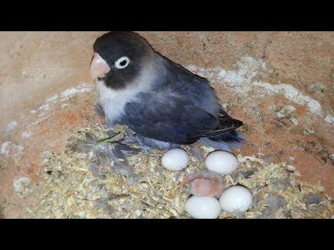 Lovebirds eggs hatching