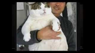 Самые толстые кошки  ТОП 5