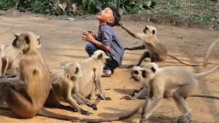 Child langoors are playing happily with this boy