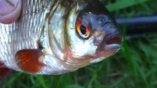 Осенняя ловля рыбы(Осенняя ловля рыбы В этом видео вы увидите осеннюю ловлю плотвы на удочку. Я вам расскажу особенности..., 2016-09-16T20:10:38.000Z)