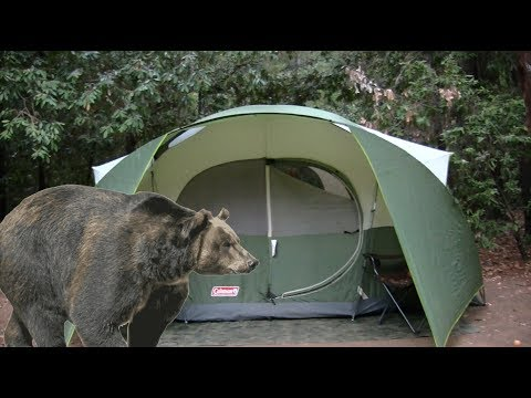 Black Bear Right Outside My Tent Camping